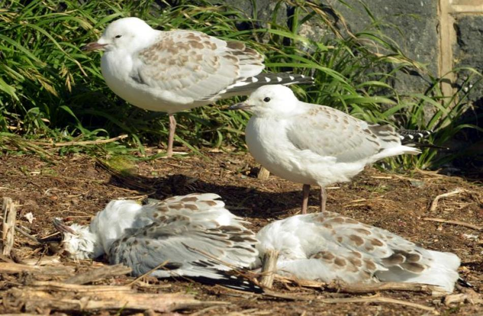 Red-billed gulls stand beside dead fledglings at Taiaroa Head yesterday. Photo by Stephen Jaquiery.