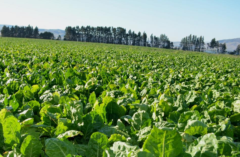 Research funded by DairyNZ shows fodder beet has benefits as a winter crop with high metabolic...