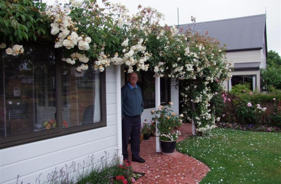 Ron Lobb is showered by petals from a large cream climbing rose. When it flowers in November,...