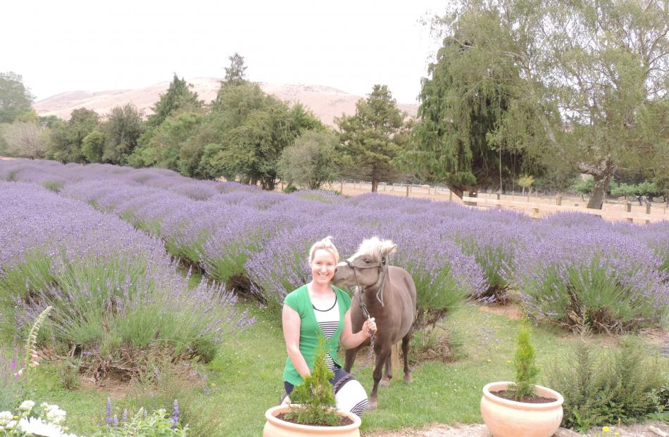 Rows of lavender in full bloom are vying with tame animals, including miniature horse Trixie, as...