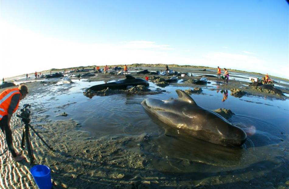 Sara Kaltz films beached pilot whales at Farewell Spit.