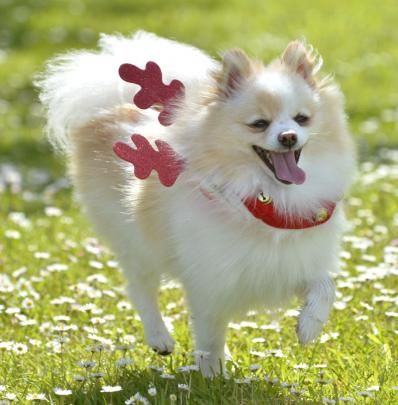 Sleigh bells  . . .  Bella, a Pomeranian, gets into the festive spirit by wearing some reindeer...