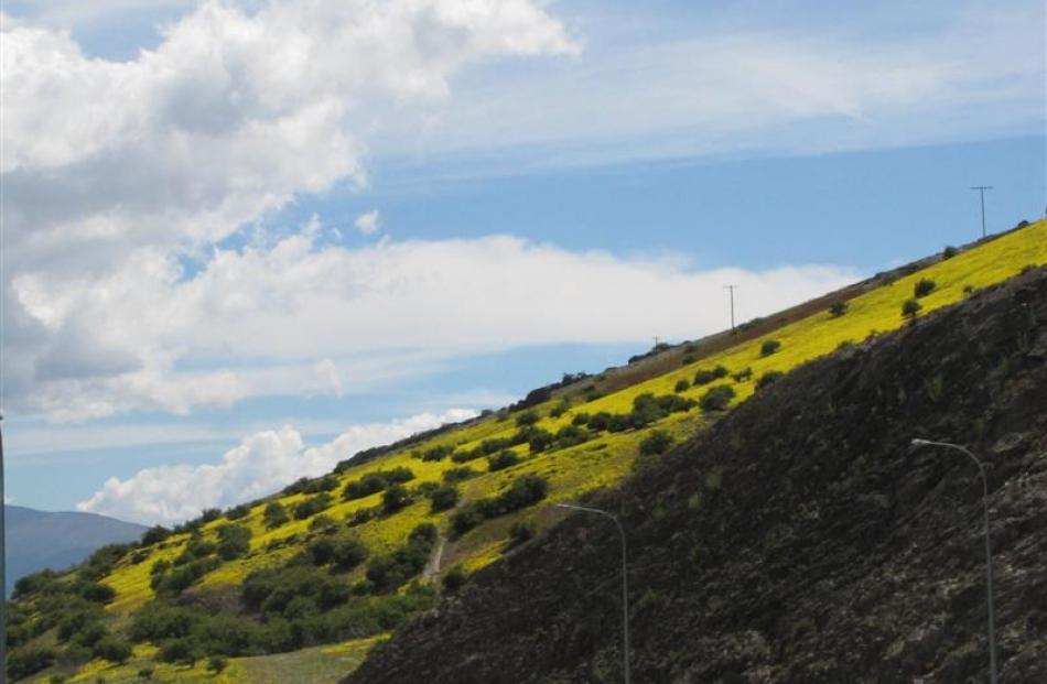 A hill near Cromwell turns yellow.