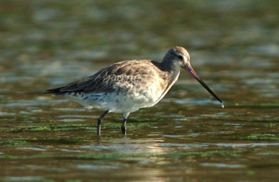 The bar-tailed godwit. Photo by Stephen Jaquiery