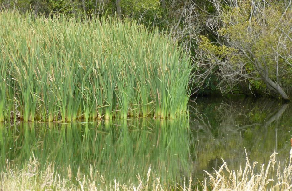 The boardwalk will allow access to the springs from the main  wetland when  completed.