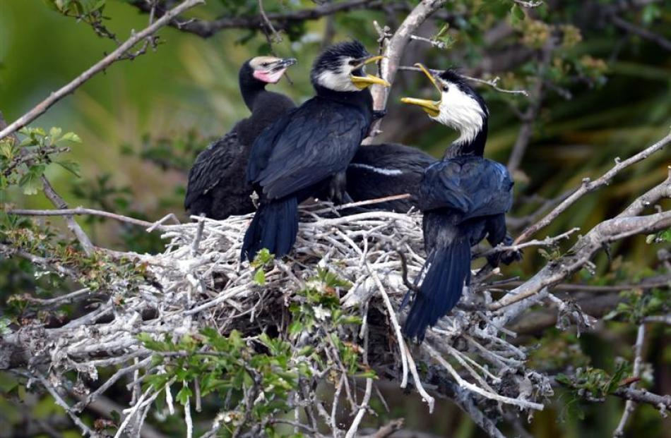 The family of little shags in a tree at the garden. Photos by Stephen Jaquiery.