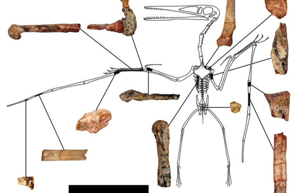 The fragmentary remains of the Kryptodrakon progenitor. REUTERS/Illustration by Brian Andres...