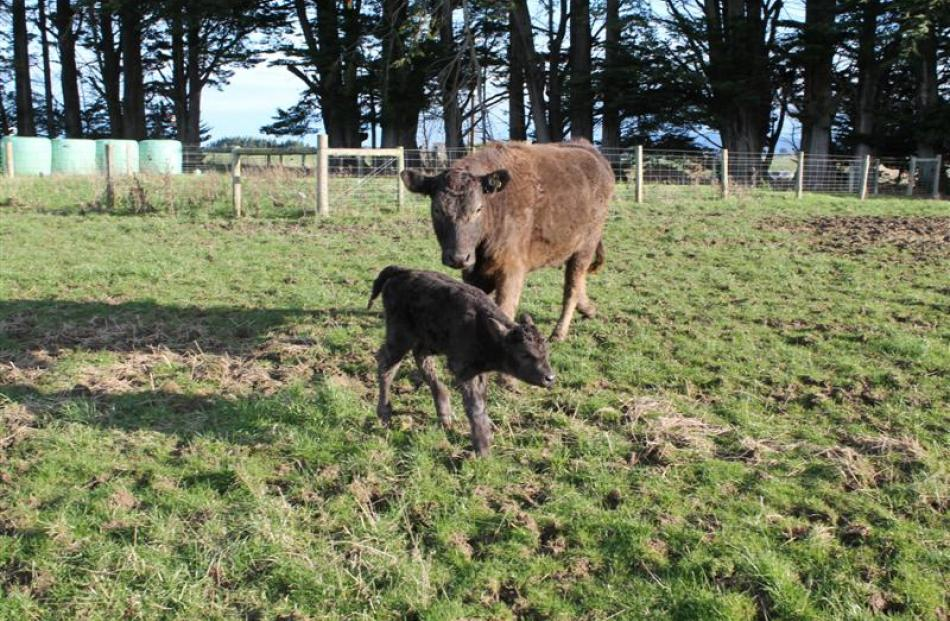 The heifer calf born last week is believed to be Bobo the bison's first offspring.