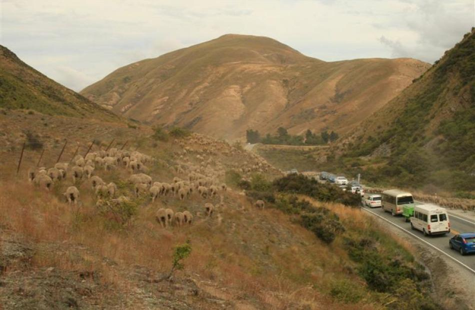 The Munro family of Otematata still drove their sheep over the Lindis Pass to fresh grazing areas...
