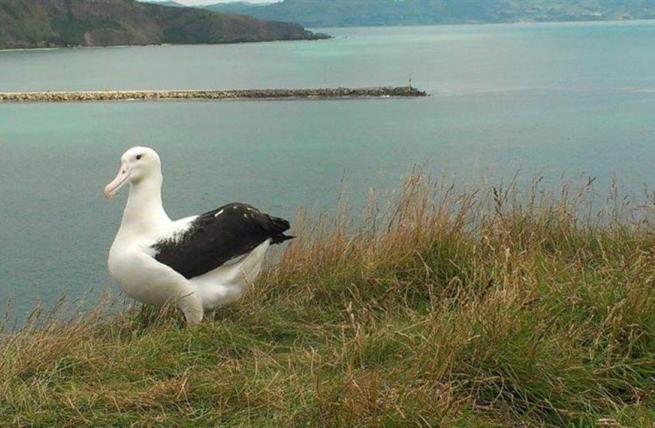 Toroa checks  his homeland at Otago Peninsula's Taiaroa Head albatross colony. Photo by DOC.