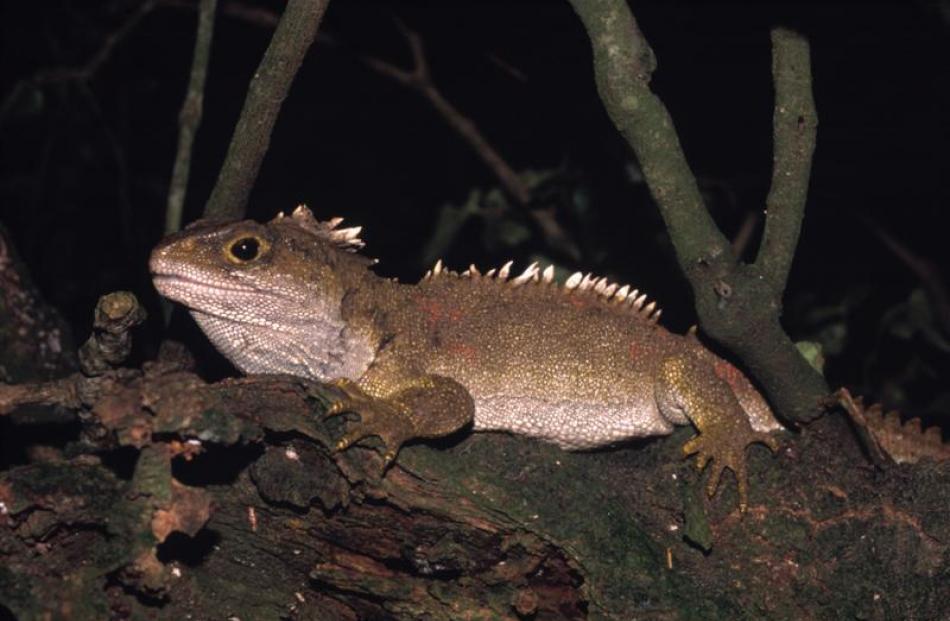 University of Otago associate professor of zoology Alison Cree has just published  <i>Tuatara:...
