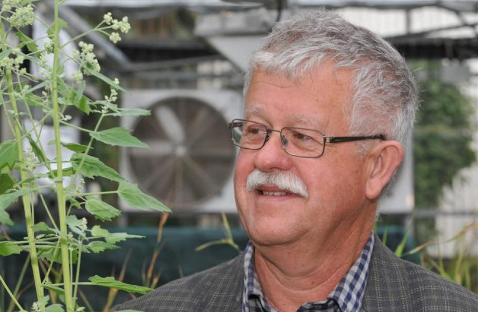 University of Otago botanist Associate Prof Paul Guy with quinoa plants. Photo by Gregor Richardson.