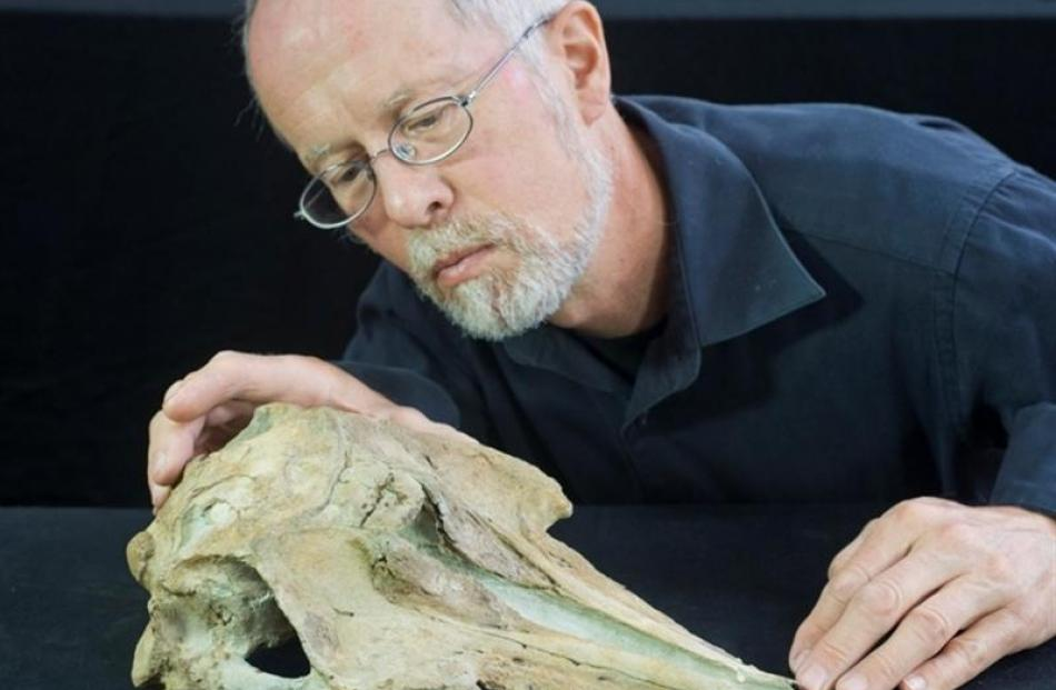 University of Otago geologist Prof Ewan Fordyce inspects a recently studied dolphin skull...