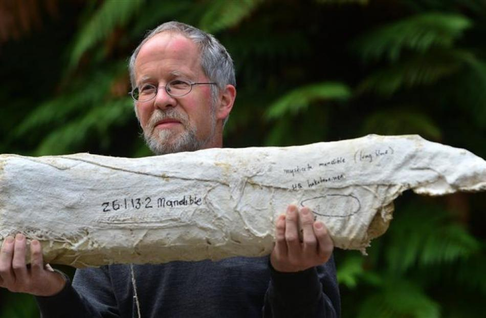 University of Otago paleontologist Prof Ewan Fordyce holds a 23 million-year-old fossilised whale...