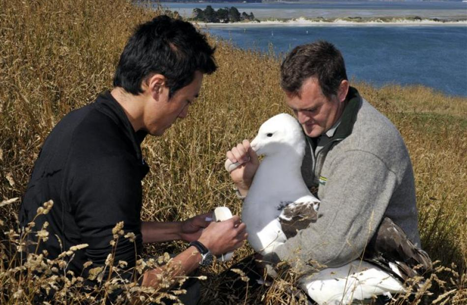 University of Otago PhD student Junichi Sugishita puts a GPS tag on royal northern albatross...