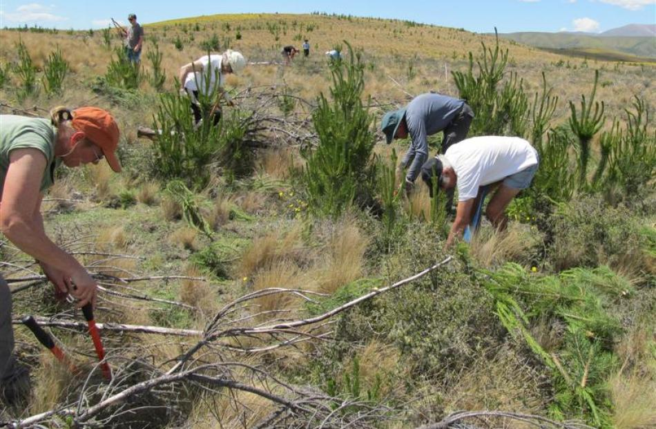 Volunteers use loppers to remove Pinus contorta  wilding pines at Wairepo, near Omarama. Photo by...