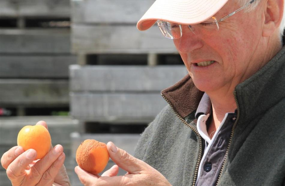 Waitaki Orchards harvest manager James MacKenzie says the wet weather over the past two weeks has...