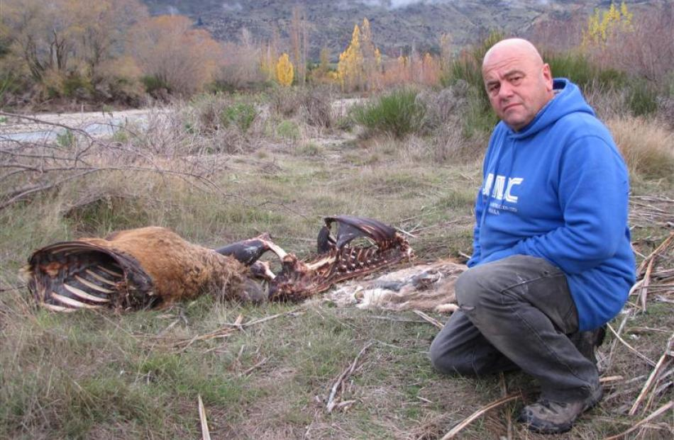 Wanaka resident Johnny Mayen is disgusted by the ongoing dumping of deer carcasses, and now other...