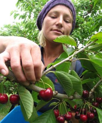 Whitney Affleck, of Alexandra, picks the cherries before they are taken back to the orchard's...