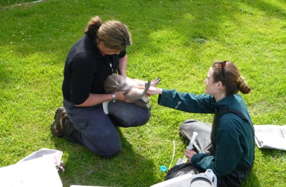 Wildlife vet Lisa Argilla and Massey University vet student Brandy Maloney tube-feed an...