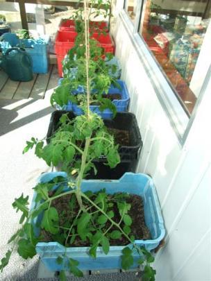 Tomato plants on Jenny Hewson's deck.