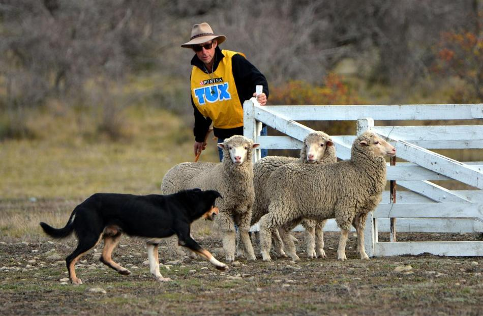 Alan Stewart, of Gore, and Clay about to pen their sheep in the short head and yard during the...