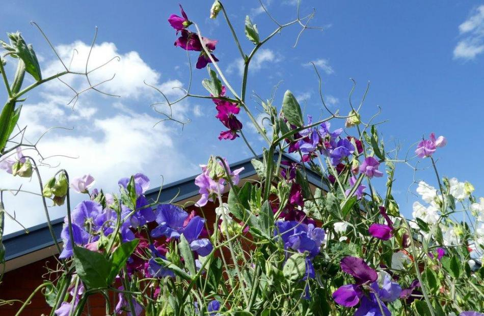The sweet peas were thriving at Ann Wood's Caversham garden in January.