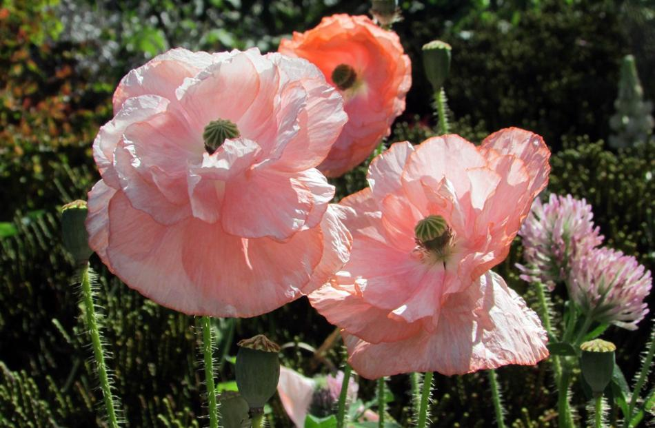 Margaret MacArthur, of Dunedin, says some years ago she scattered some Shirley Poppy seeds in her...