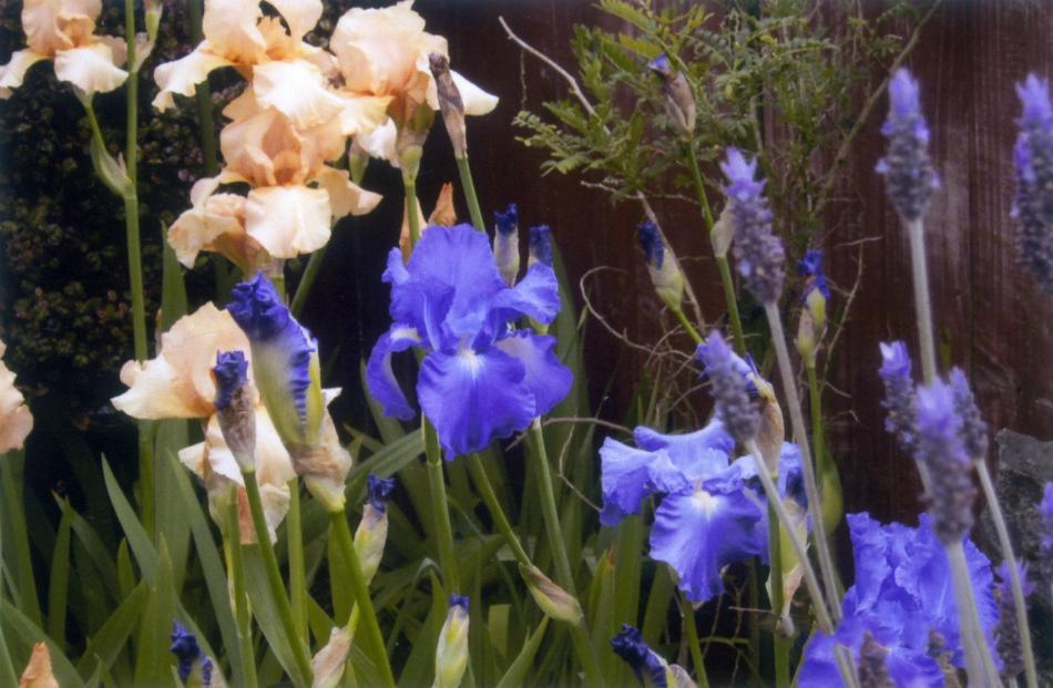 Irises were a feature of Anne Ramage's garden  in Musselburgh, back in November.