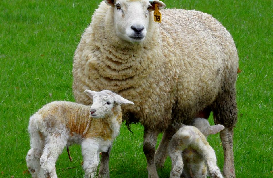 A TEFRom ewe stands with her lambs at Twin Farm near Mandeville. Supplied photo