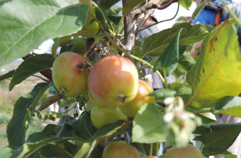 China waging battle to save ancient wild apple trees | Otago Daily ...