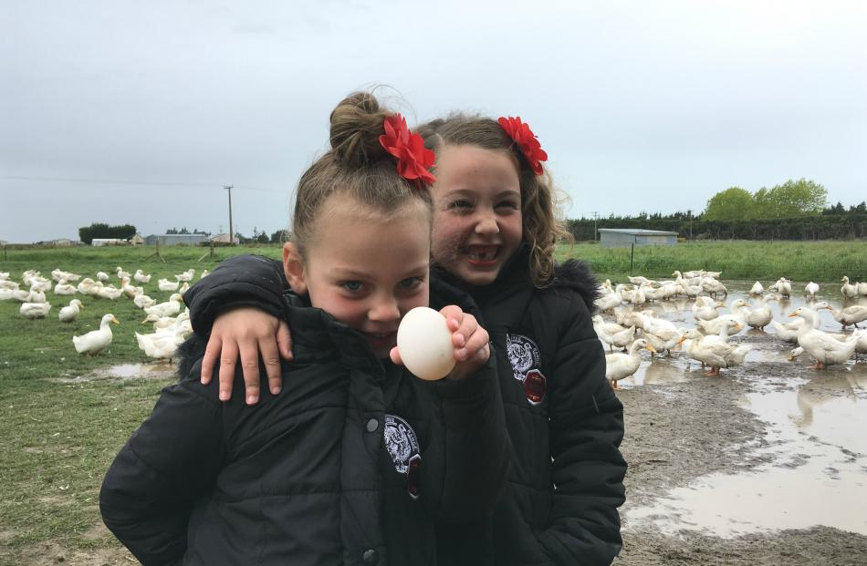 Siblings Ruby (4) and Isla (6) Smith find a duck egg in the breeders paddock, while ducks happily...