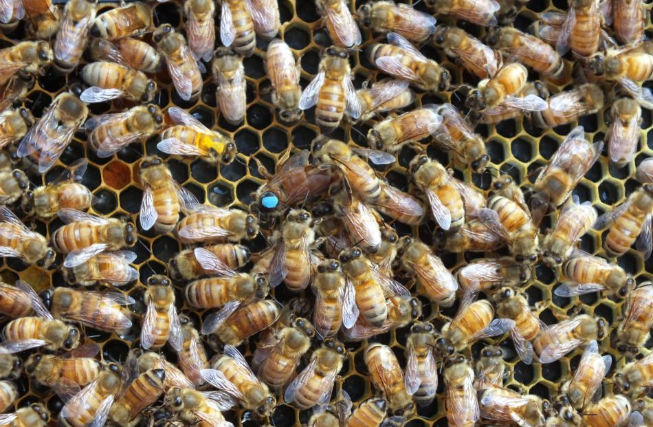 A queen (marked with a blue dot) surrounded by worker bees and drones.