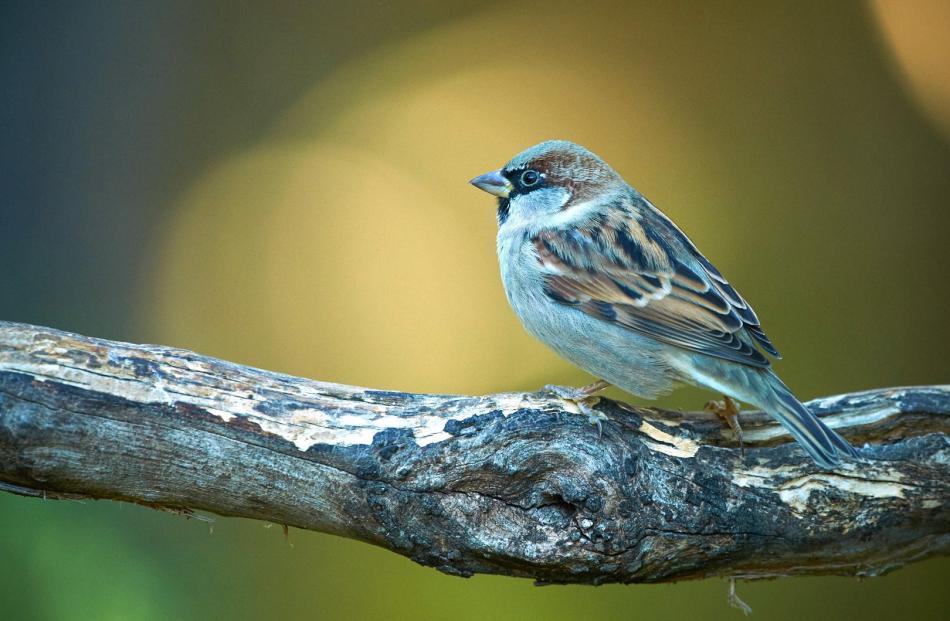 A male house sparrow. Photo: Craig McKenzie
