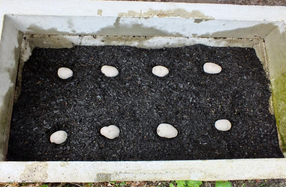 Step 3 . . . Seed potatoes are positioned before covering.
