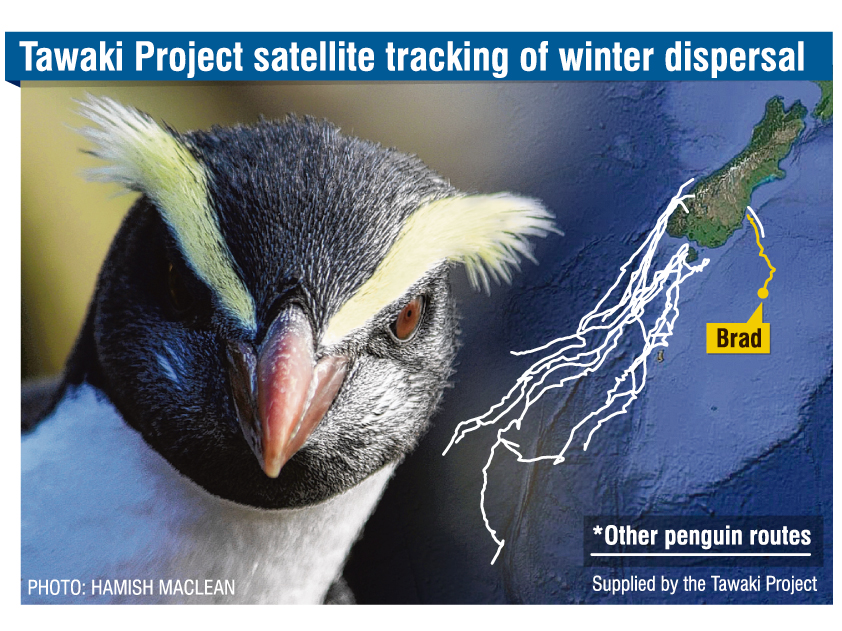A male Fiordland crested penguin, named Brad, was released with a satellite tracker on March 7, after he was found moulting in Waterfront Rd,  Oamaru, on February 11.