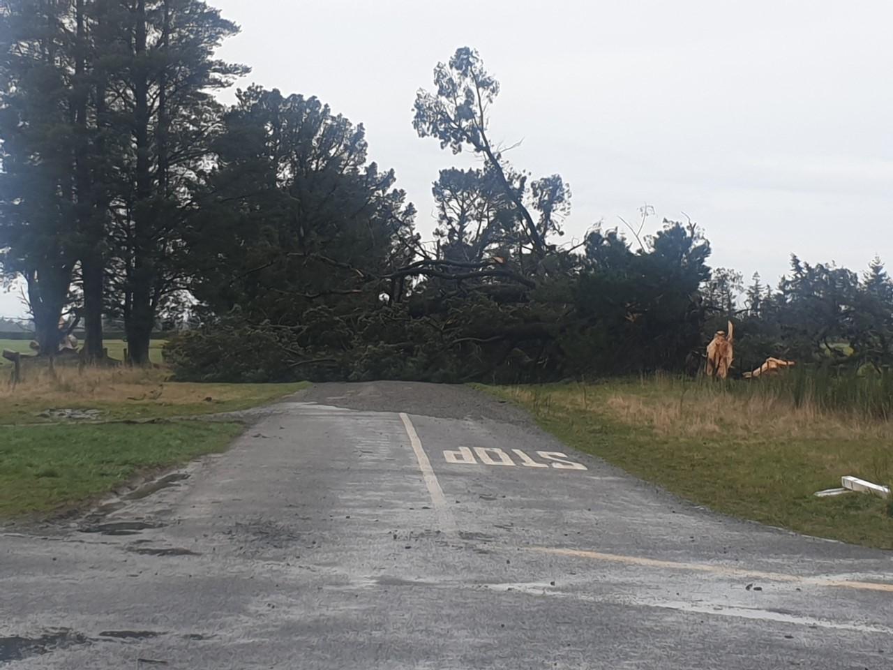 A huge pine across the Carleton-Ashley Road, near Ashley Gorge. Photo: Robyn Bristow