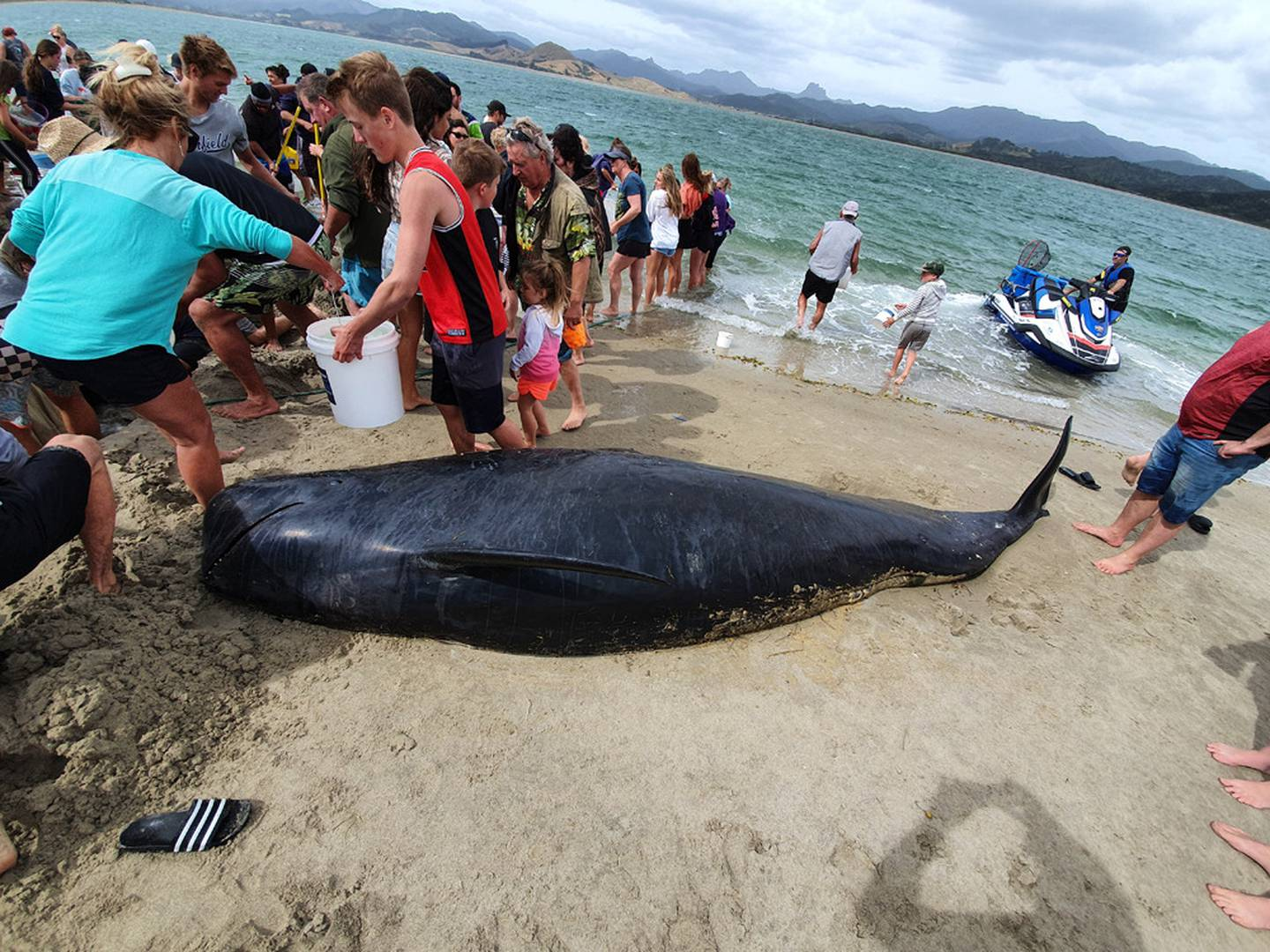 People work to save the remaining whales as a dead whale lies on the beach following the...
