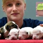 Humanimals vet nurse Catie Cawley with five dumped American bulldog puppies in Dunedin yesterday....